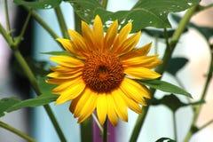 Fiore selvaggio di Sun Fotografia Stock Libera da Diritti