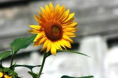 Fiore selvaggio di Sun Fotografia Stock