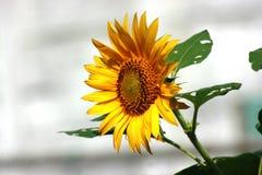 Fiore selvaggio di Sun Fotografie Stock Libere da Diritti