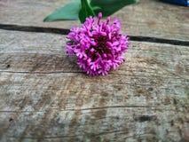 Fiore selvaggio di Tenerife Immagini Stock