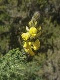Fiore selvaggio di Tenerife Fotografia Stock