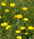 Fiore selvaggio giallo Fotografie Stock Libere da Diritti
