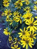 Fiore selvaggio giallo della margherita fotografie stock