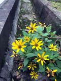 Fiore selvaggio giallo della margherita immagine stock