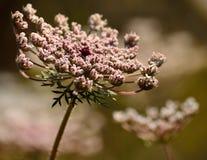 Fiore selvaggio isolato della carota Fotografia Stock