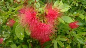 Fiore selvaggio naturalpuffy di Uncommen fotografie stock libere da diritti