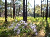 Fiore selvaggio nel parco del pino, nordico della Tailandia Immagine Stock Libera da Diritti