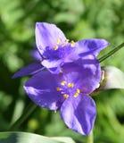 Fiore selvaggio porpora dell'iride su una mattina della molla Immagini Stock