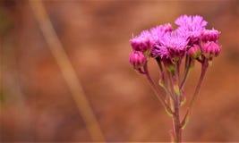 Fiore selvaggio rosa contro un fondo chiazzato marrone caldo immagine stock