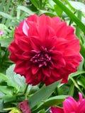 Fiore selvaggio rosso Fotografie Stock