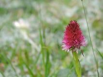 Fiore selvaggio - Sangele Voinicului Fotografia Stock Libera da Diritti