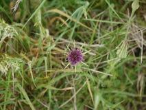 Fiore selvaggio sconosciuto Immagine Stock