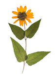 Fiore selvaggio secco ed urgente della molla isolato su fondo bianco Erbario del fiore giallo Fotografie Stock Libere da Diritti