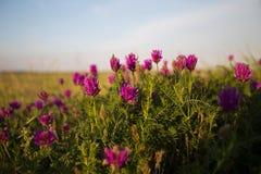 Fiore selvaggio sul prato fotografia stock libera da diritti