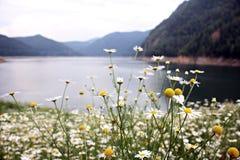 Fiore selvaggio sulla riva del lago Fotografia Stock