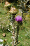 Fiore selvaggio viola a Srinagar, Kashmir, India Immagine Stock Libera da Diritti