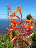 Fiore selvaggio Watsonia nel parco nazionale di Tsitsikamma Fotografia Stock Libera da Diritti