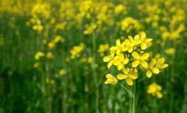 Fiore semplice della senape Fotografie Stock Libere da Diritti