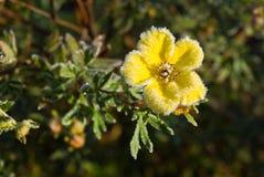 Fiore Shrubby del Cinquefoil del Hoarfrost fotografie stock
