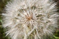 Fiore simile ad un dente di leone - nomi comuni della salsefica di prato Jack-in letto--mezzogiorno, salsefica di prato, capra-ba fotografia stock