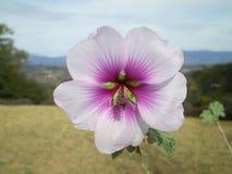 Fiore solo con le montagne nel fondo Immagine Stock Libera da Diritti