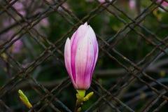 Fiore solo del giglio Fotografie Stock