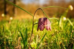 fiore solo della molla Fotografie Stock Libere da Diritti