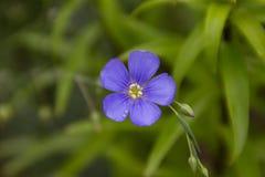 Fiore solo di lino blu Fiore blu su un fondo verde Immagini Stock