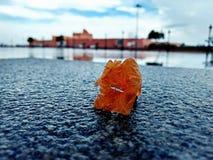 Fiore solo in pioggia Fotografia Stock