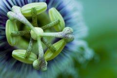 Fiore speciale del grenadilla Fotografie Stock