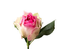 Fiore speciale rosa e bianco Fotografie Stock Libere da Diritti