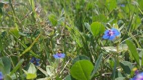 Fiore splendido porpora dell'erba Fotografia Stock Libera da Diritti