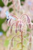 Fiore/starflower commestibili della borragine Fotografie Stock