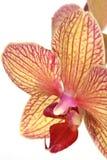 Fiore a strisce dell'orchidea Immagine Stock