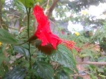 Fiore stupefacente dell'ibisco Fotografia Stock