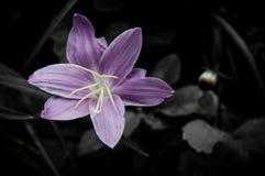 Fiore su progettazione nera del fiore Fotografia Stock Libera da Diritti