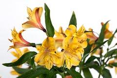 Fiore su un Alstroemeria bianco Fotografia Stock