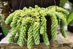Fiore succulente Fotografia Stock Libera da Diritti