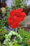 Fiore succulente Fotografie Stock Libere da Diritti