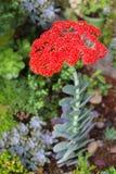 Fiore succulente Immagini Stock