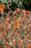 Fiore succulente verde Fotografia Stock
