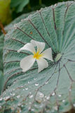 Fiore sulla foglia del loto Immagine Stock Libera da Diritti