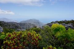 Fiore sulla montagna della Tabella vicino a Cape Town immagine stock