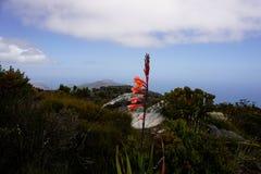 Fiore sulla montagna della Tabella vicino a Cape Town fotografia stock