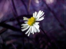 Fiore sulla porpora Immagini Stock Libere da Diritti