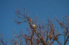 Fiore sulle albicocche di un albero Fotografie Stock