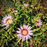 Fiore svizzero Fotografie Stock