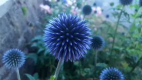 Fiore tagliente blu fotografie stock