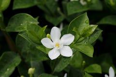 Fiore tailandese Fotografia Stock