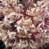 Fiore tailandese dei fiori bianchi con il primo piano del polline fotografie stock libere da diritti